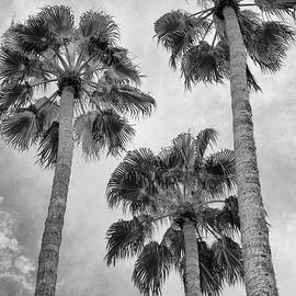 THREE PALMS BW Palm Springs by William Dey