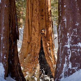 Three Sequoias by Susan Cole Kelly