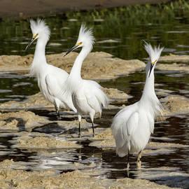 Three Snowy Egrets by Bruce Frye