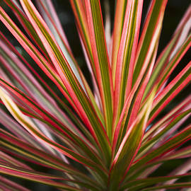 Ti Plant Cordyline terminalis Red Ribbons