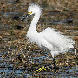 Ticked-Off Snowy Egret by Rick Higgins