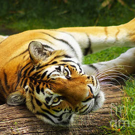 Angela Doelling AD DESIGN Photo and PhotoArt - Tiger