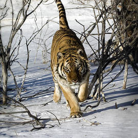 Wildlife Fine Art - Tiger -  By the Tail