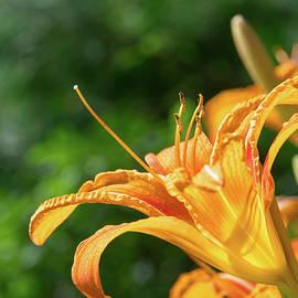 Michael Plotczyk - Tiger Daylilies 2