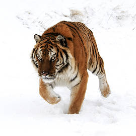 Tiger In Snow by Scott Read
