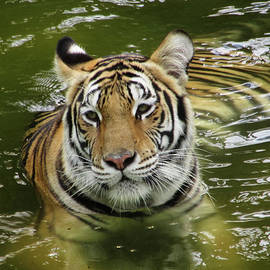 Tiger In The Water by Pamela Walton