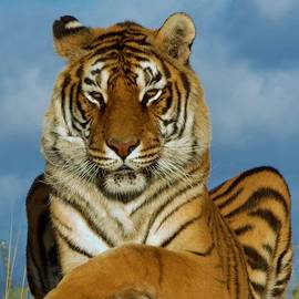 Tiger M by Phyllis Spoor