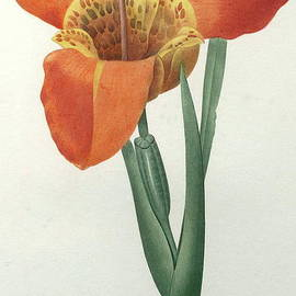 Tiger or Shell Flower - Pierre Joseph Redoute