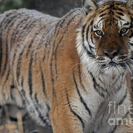 Wildlife Fine Art - Tiger - Siberian