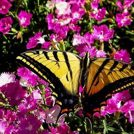 Tiger Swallowtail by Alana Thrower
