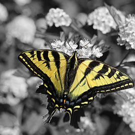 Tiger Swallowtail Butterfly Selective Color by Jennie Marie Schell