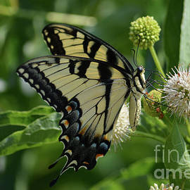Tiger Swallowtail On Button Bush 3 by Ruth Housley