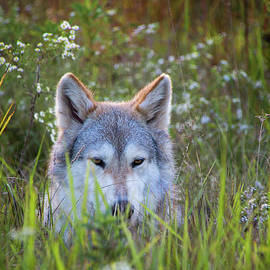 Sharon McConnell - Timber Wolf In The Evening Meadow