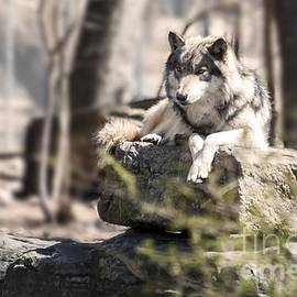 Timber Wolf Portrait by Anthony Sacco