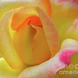 Cindy Treger - Timeless Beauty Of A Rose