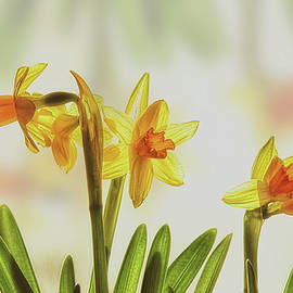 Susan Capuano - Tiny Daffodils
