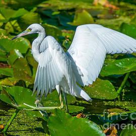 Tiptoeing Egret by Stephen Whalen