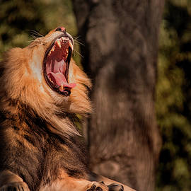 Tired Lion by Don Johnson
