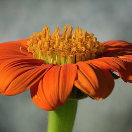 Tithonia in Bloom by Bruce Frye