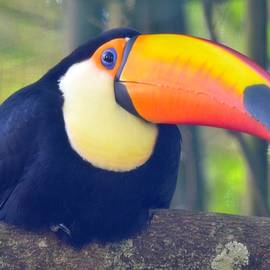 Richard Bryce and Family - Toco Toucan