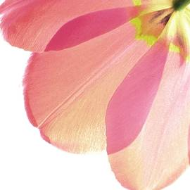 Angela Davies - Topsy Turvy Tulip