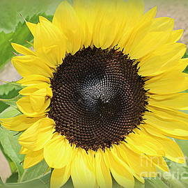 Dora Sofia Caputo Photographic Art and Design - Touched By the Sun - Sunflower