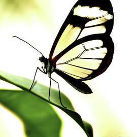 Transparent Butterfly On A Leaf by Toula Mavridou-Messer