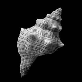 Trapezium Horse Conch sea shell by Jim Hughes