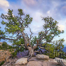 Tree at Angel Bright North Rim by Jerry Fornarotto