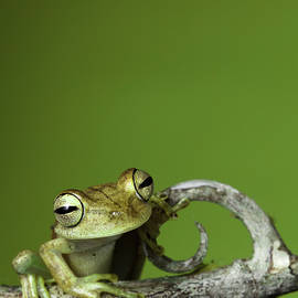 tree frog by Dirk Ercken
