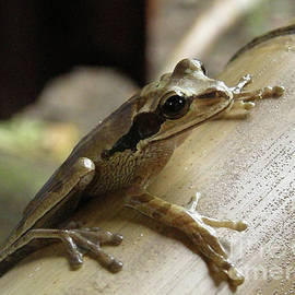 Tree Frog On Bamboo by DejaVu Designs