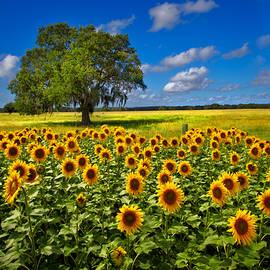Tree in the Sunflower Field by Debra and Dave Vanderlaan