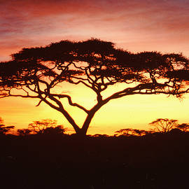 Tree of Life Africa by Jerome Stumphauzer