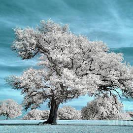 Tree on the Pedernales Infrared by Norman Gabitzsch