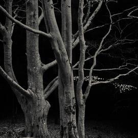 Dave Bowman - Beech Tree