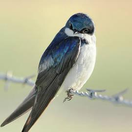 Jennie Marie Schell - Tree Swallow