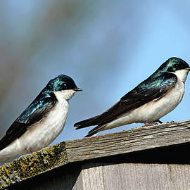 Debbie Oppermann - Tree Swallows At Home