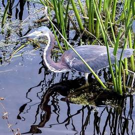 NaturesPix - Tri-Colored Heron Green Cay Wetlands Florida