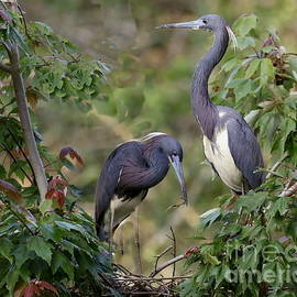 Tri-colored Herons on the nest by Myrna Bradshaw