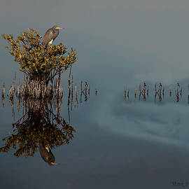 Tricolor Heron in Mangrove Tree - Reflected by Mark Fuge