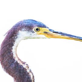 Tricolored headshot  by Ruth Jolly
