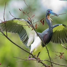 Tricolored Heron Landing by Maggie Brown