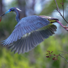 Tricolored Heron with Twig by Maggie Brown