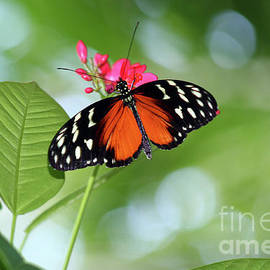 Tropical Hecale Butterfly by Karen Adams