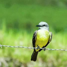 Norman Johnson - Tropical Kingbird