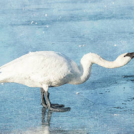 Trumpeter Swan Neck #3 by Patti Deters