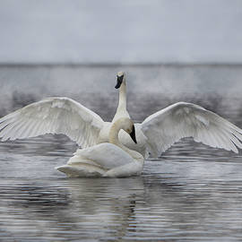 Trumpeter Swan Show Off by Patti Deters