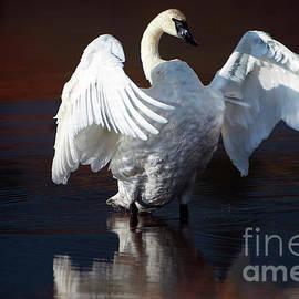Wildlife Fine Art - Trumpeter Swan