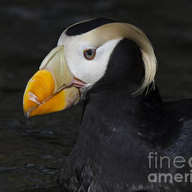 Tufted Puffin 6 by Bob Christopher