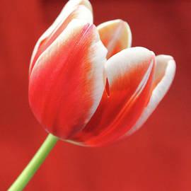 Nina Silver - Tulip Canadian Style